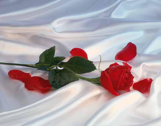 Romantismo Rosa Vermelha Sobre Lençol Branco Imagem Do Dia